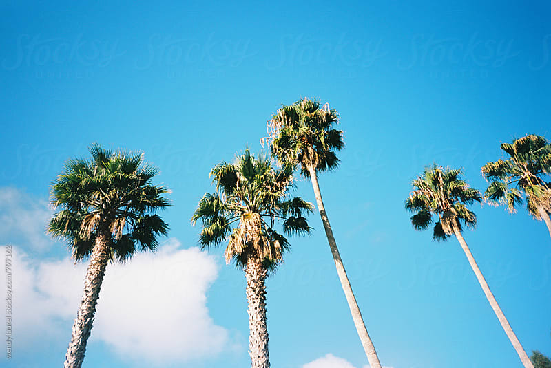 california palm trees in a row against brillant bright blue sky on film by wendy laurel for Stocksy United