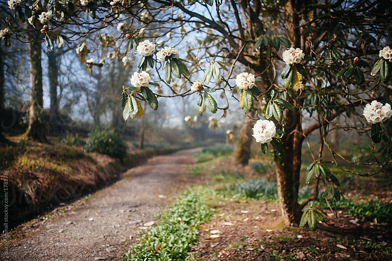 Rhododendron tree next to a path by Suzi Marshall for Stocksy United