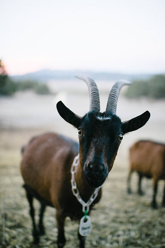 Goat by Beth Johnston for Stocksy United