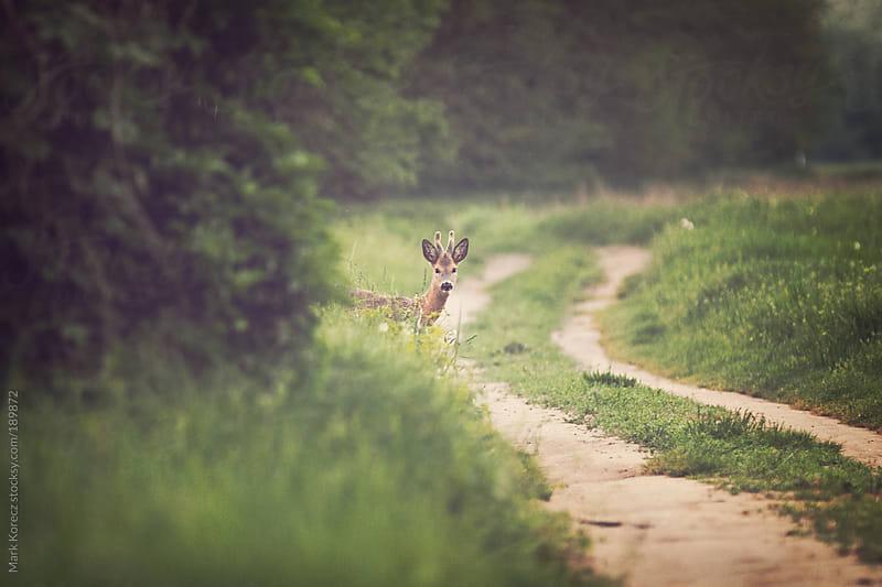 Deer looking by Mark Korecz for Stocksy United
