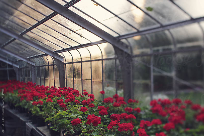 An Old Glass Greenhouse Where Geraniums Grow In Morning Light by ALICIA BOCK for Stocksy United