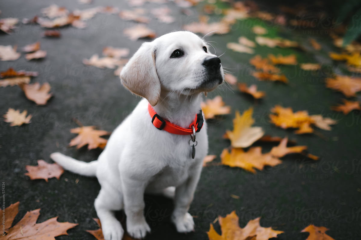 Small White Lab Puppy Standing In Yellow Fall Leaves Por Kristine Weilert Stocksy United