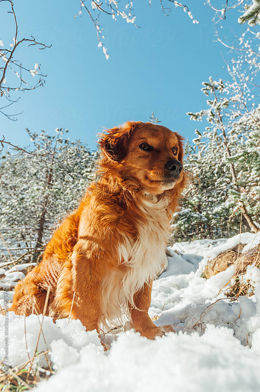Cute brown dog sitting in the snow by Dimitrije Tanaskovic for Stocksy United