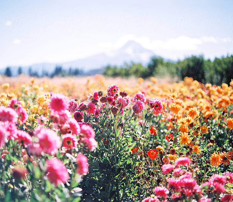 Flower field in front of mountain by Daniel Kim Photography for Stocksy United