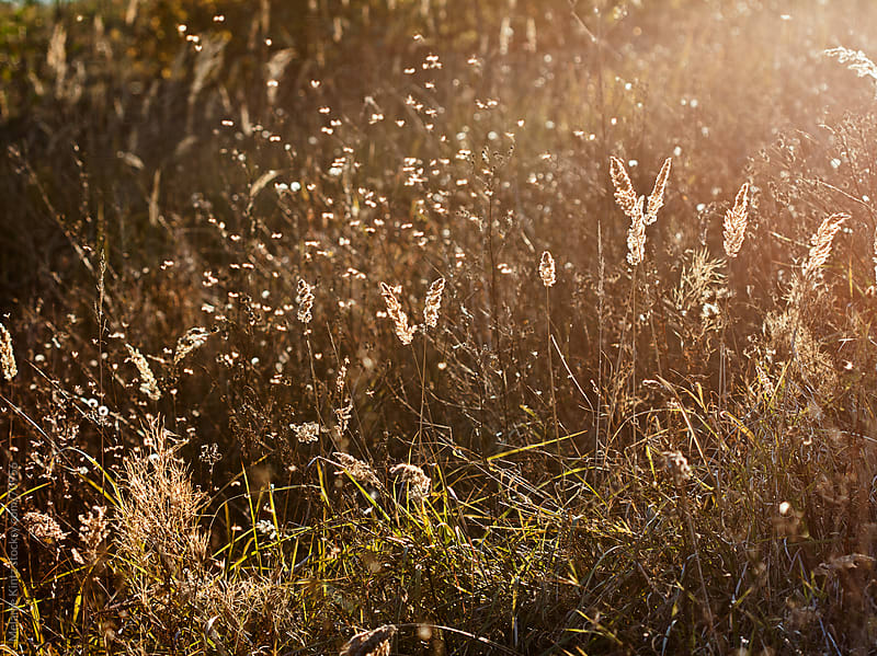 Insects dancing in a field of grass in late afternoon sun by Melanie Kintz for Stocksy United