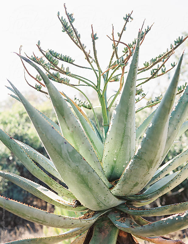 Native succulent in South Africa  by Vicki Grafton Photography for Stocksy United