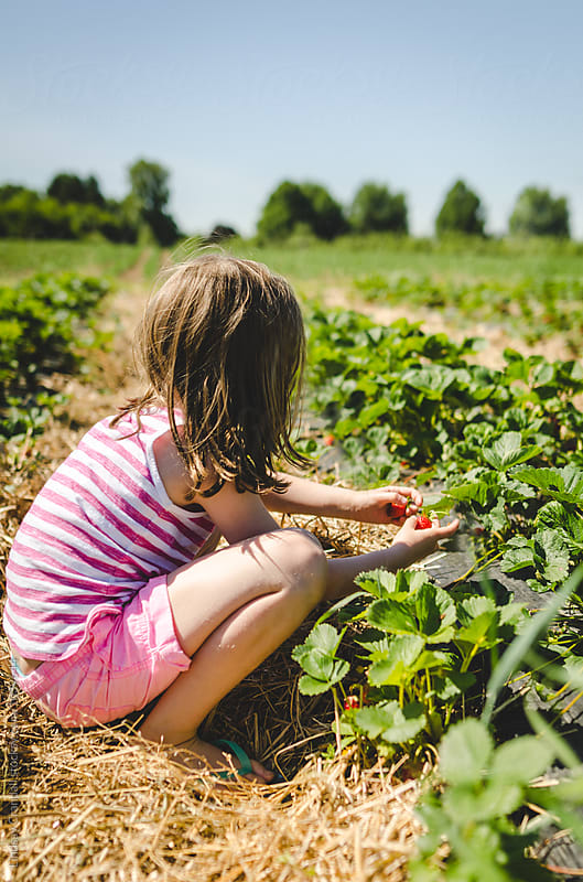 Child in a field picking strawberries by Lindsay Crandall for Stocksy United