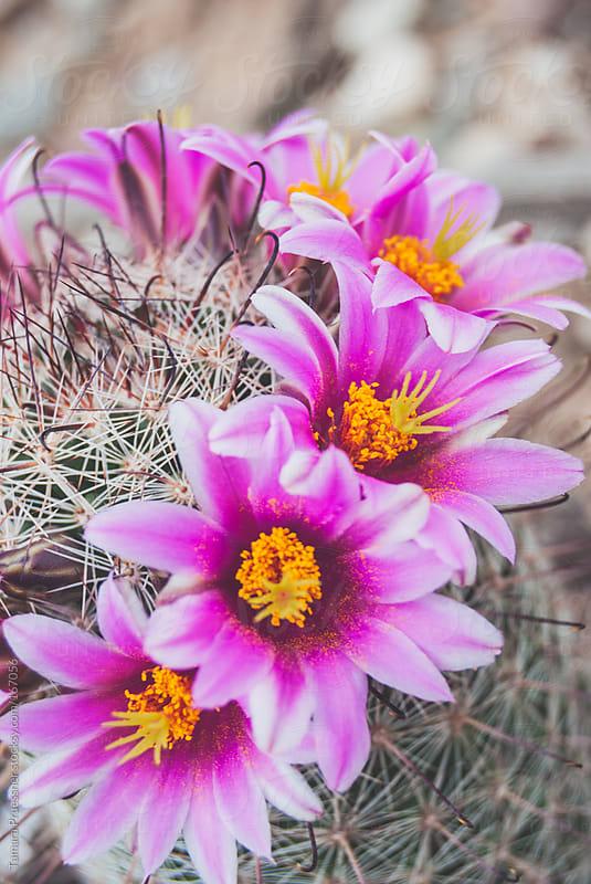 Close Up Of Pink Cactus Flowers by Tamara Pruessner for Stocksy United