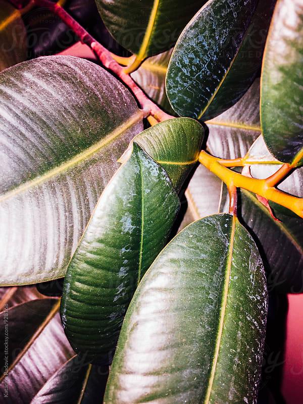 Vibrant Ficus Plant Leafs by Katarina Radovic for Stocksy United