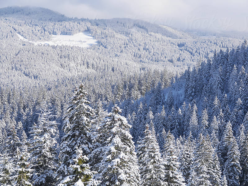 black forest in winter by rolfo for Stocksy United
