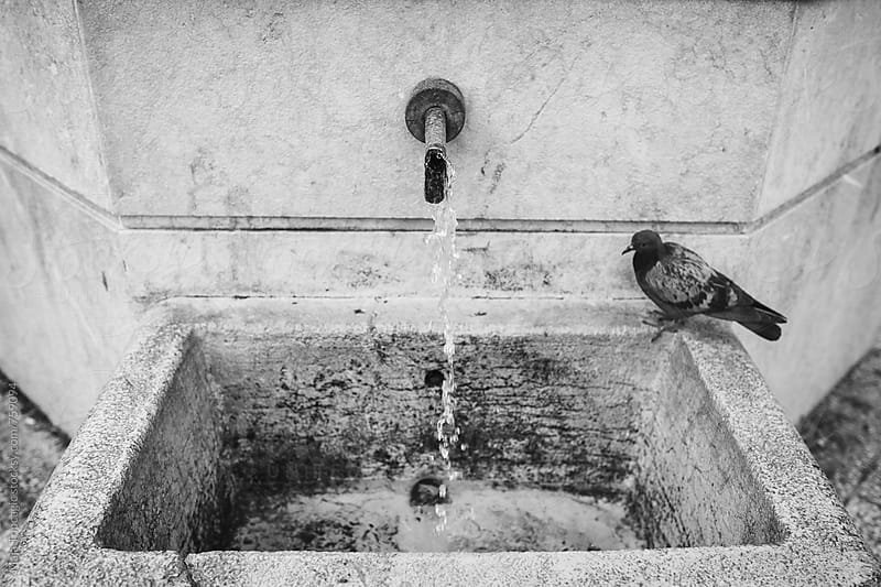 A pigeon near a fountain in black and white by Maja Topcagic for Stocksy United