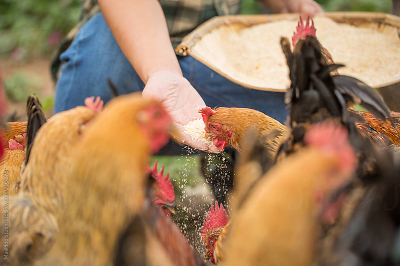 Farm worker feeding chicken at poultry farm by MaaHoo Studio for Stocksy United