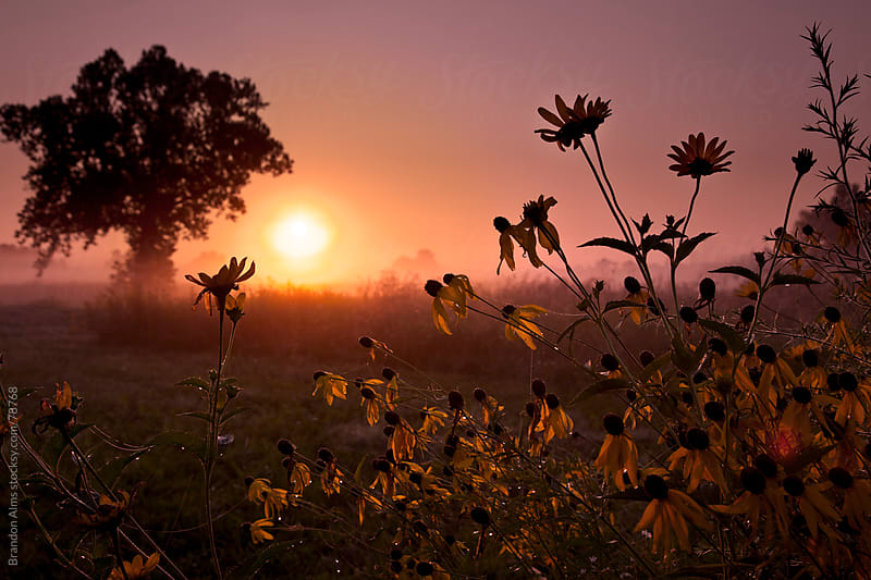 Sunrise Field of Dew Covered Coneflowers by Brandon Alms for Stocksy United