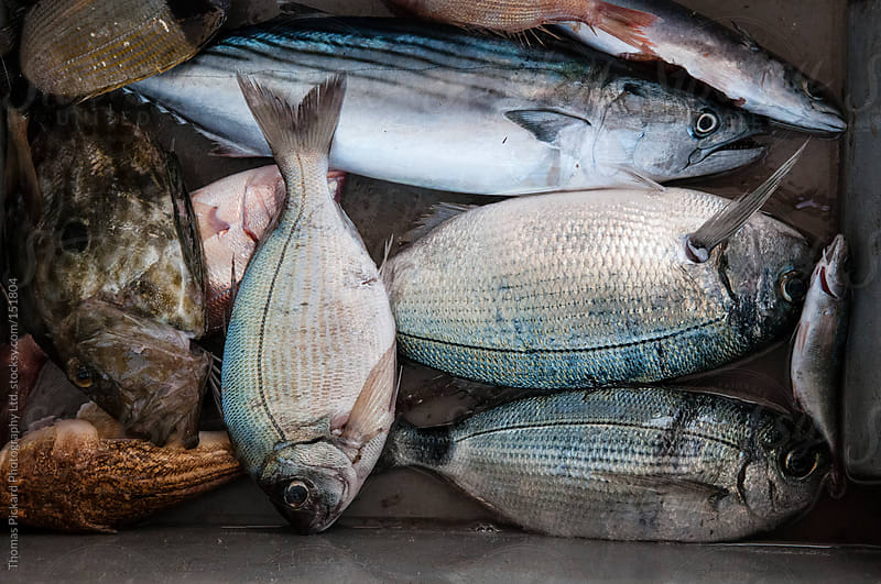 Fish on a commercial fishing vessel, Fourni Islands, Greece. by Thomas Pickard for Stocksy United