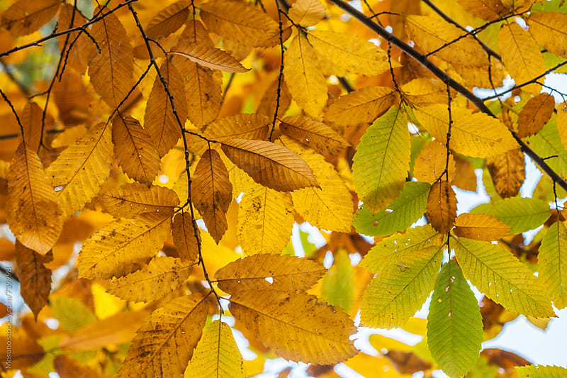 Yellow Autumn Leaves as a Backround by Mosuno for Stocksy United
