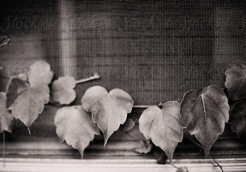Heart Shaped Leaves in Black and White by Leigh Love for Stocksy United