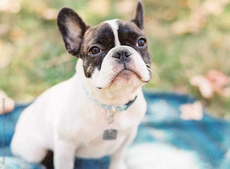 French Bulldog picnic by Vicki Grafton Photography for Stocksy United