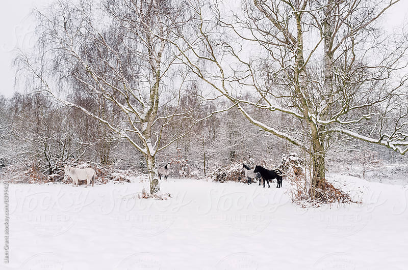 Wild ponies in snow. Litcham Common, Norfolk, UK. by Liam Grant for Stocksy United