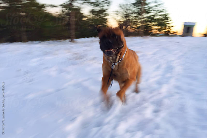 Bull mastiff running on the snow covered field. Blurred image by Dimitrije Tanaskovic for Stocksy United