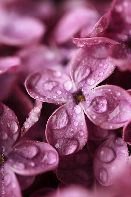 Lilac flower by Dobránska Renáta for Stocksy United