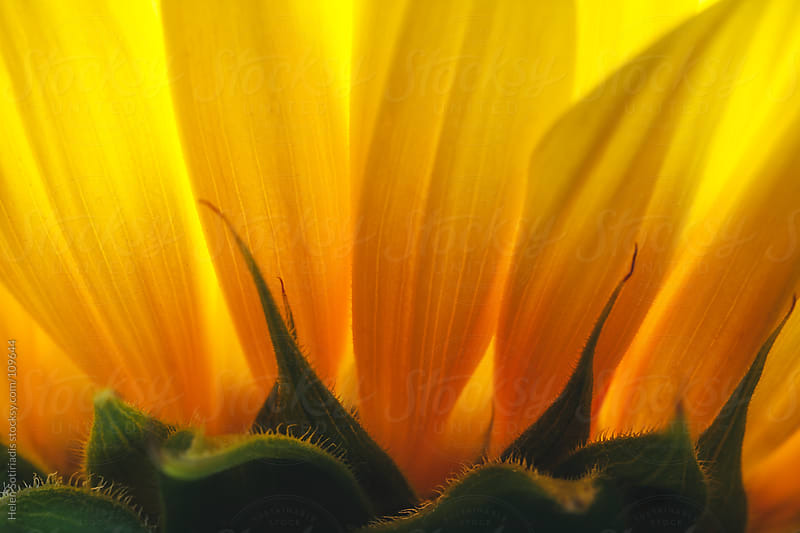 Extreme Closeup of a Sunflower by Helen Sotiriadis for Stocksy United