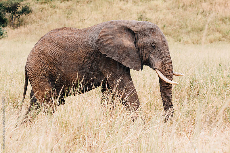 elephant walking in Tanzania by Cameron Zegers for Stocksy United