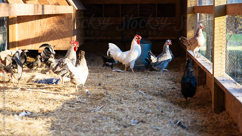 Chickens in coop with hay on floor by Jeremy Pawlowski for Stocksy United