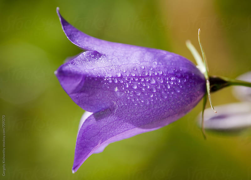 Bluebells and dewdrops. by Gergely Kishonthy for Stocksy United