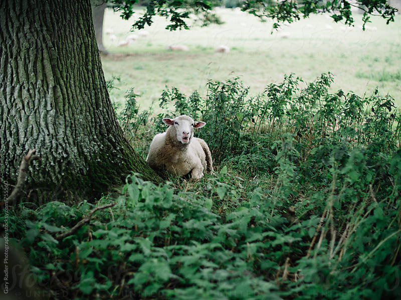 Sheep having a rest under a tree by Gary Radler Photography for Stocksy United