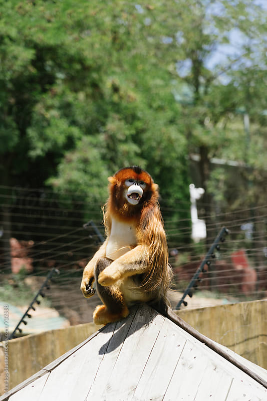 Golden monkey in a zoo by Maa Hoo for Stocksy United