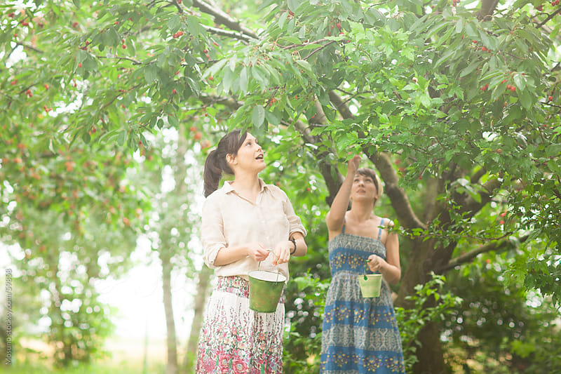 Women harvesting sweet cherries in a garden. by Mosuno for Stocksy United