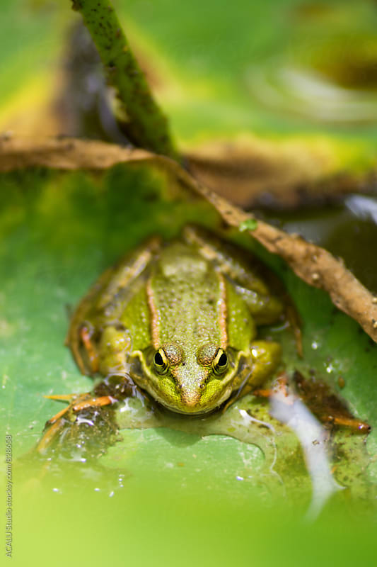 Green frog looking at camera by ACALU Studio for Stocksy United