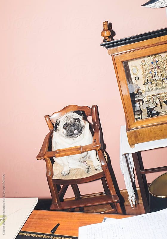 Pug sitting by Carles Rodrigo Monzo for Stocksy United