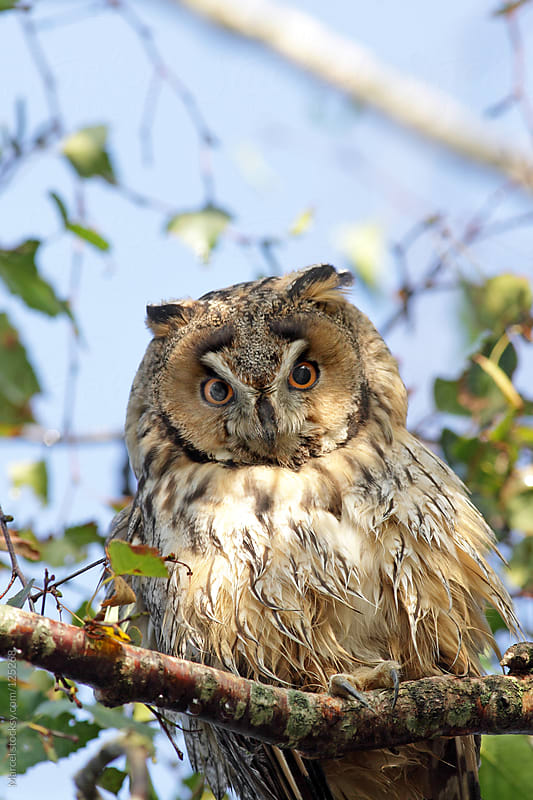 Long-eared owl looking down from a tree by Marcel for Stocksy United