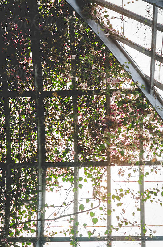Plants growing on conservatory window by Lindsay Crandall for Stocksy United