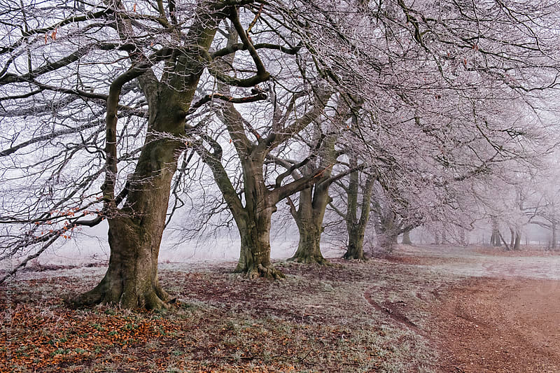 Trees and fog on a frosty morning. Santon Downham, Norfolk, UK. by Liam Grant for Stocksy United