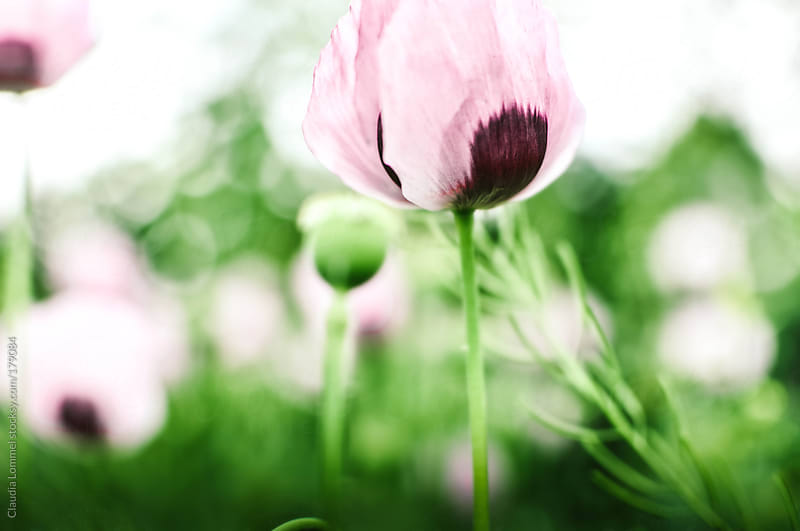 Field of Poppies in Spring. Selective Focus & Blurred by Claudia Lommel for Stocksy United
