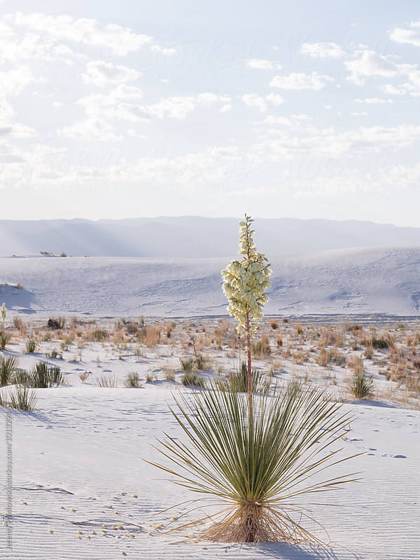 Flower in bloom from cactus in White Sands New Mexico by Jeremy Pawlowski for Stocksy United