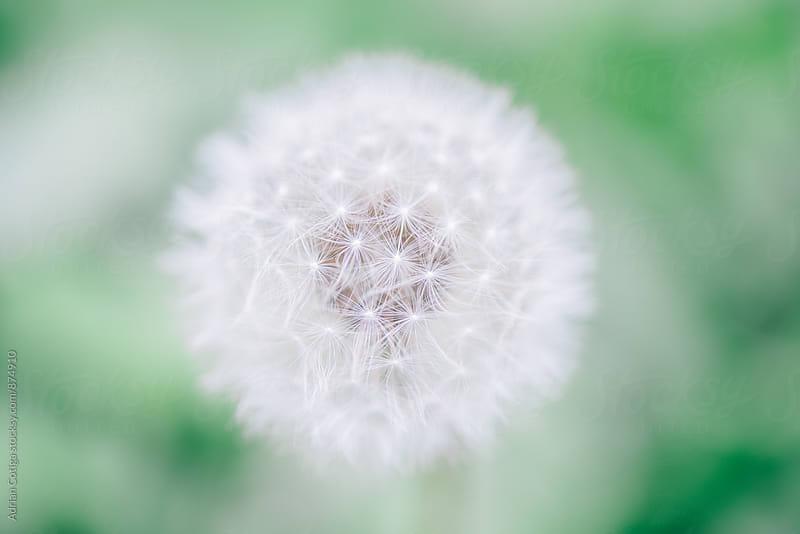 Dandelion by Adrian Cotiga for Stocksy United