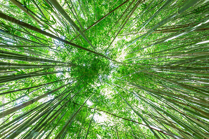 Bamboo stalks by Chris Chabot for Stocksy United