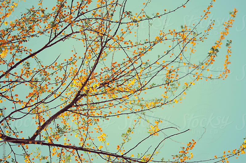 Yellow blooms on tree by Crissy Mitchell for Stocksy United