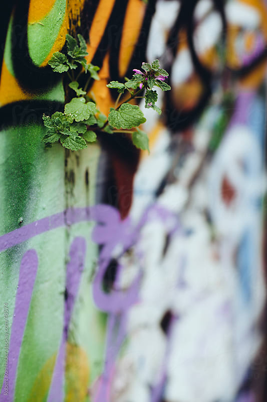 Graffiti wall with growing plant by Robert Kohlhuber for Stocksy United