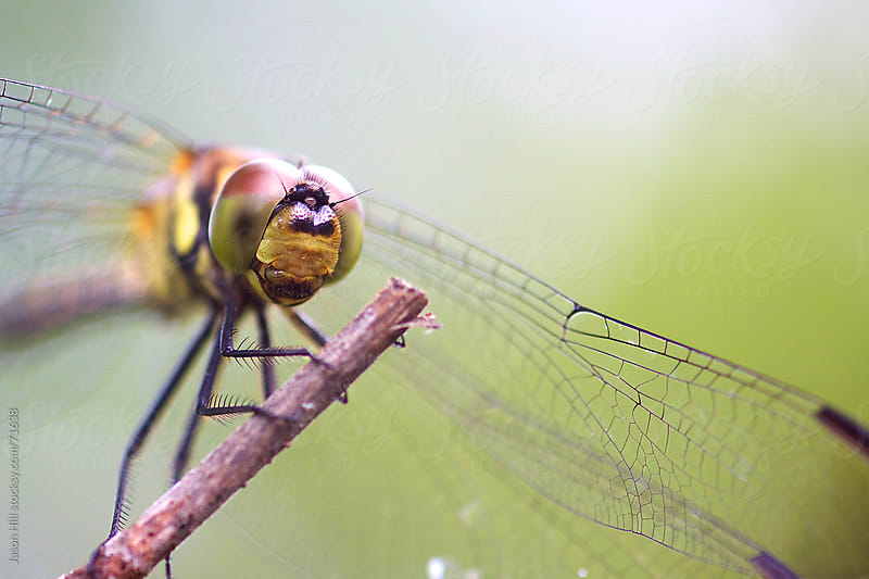 Macro photo of a dragonfly by Jason Hill for Stocksy United