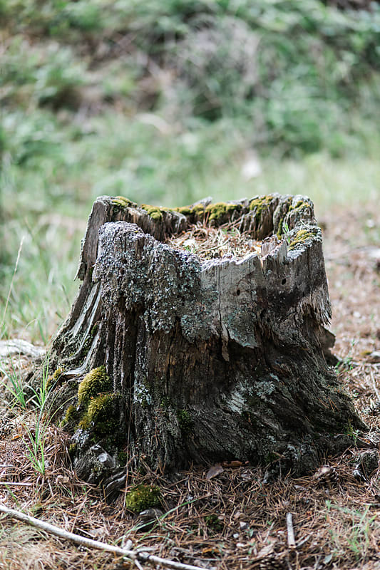 old stump in the forest by Javier Pardina for Stocksy United