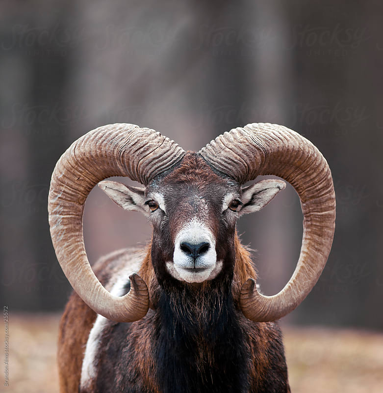Mouflon Sheep Closeup Portrait by Brandon Alms for Stocksy United