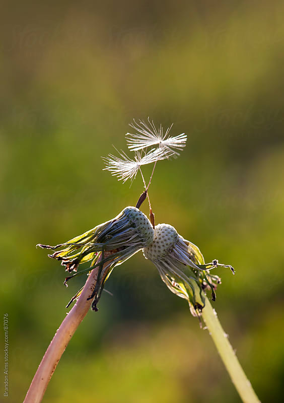 Dandelions Kiss Holding Their Last Seeds by Brandon Alms for Stocksy United