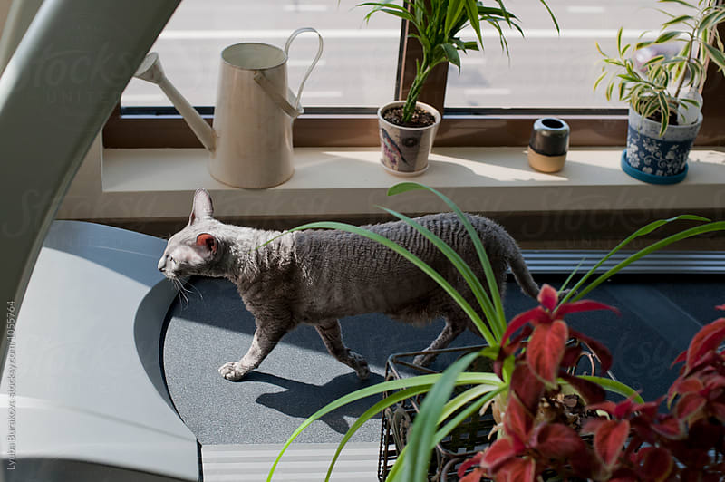 Cat on a treadmill at home by Lyuba Burakova for Stocksy United