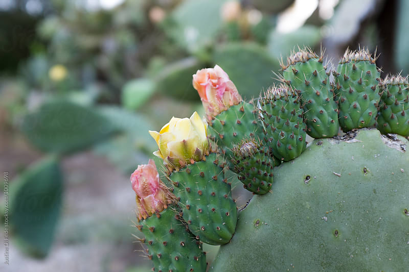 Cactus Flowers by Justine Di Fede for Stocksy United