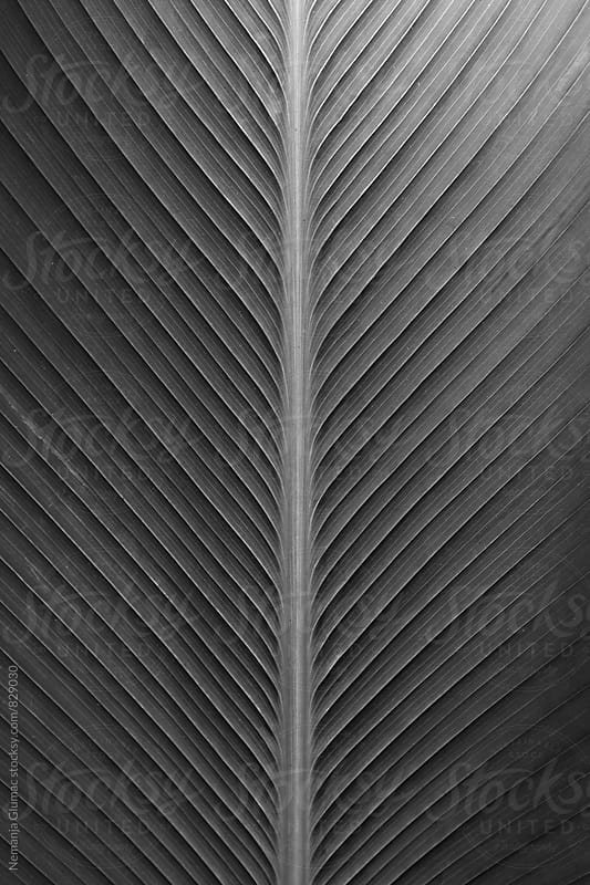 Symmetrical Tropical Leaf Surface in Black and White by Nemanja Glumac for Stocksy United