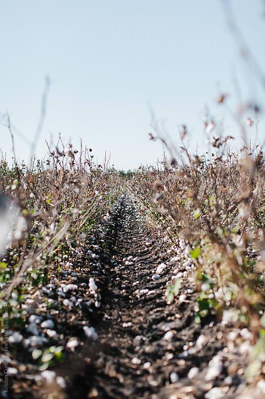 Cotton field  by Kristen Curette Hines for Stocksy United